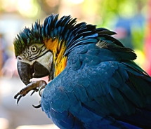 Puffed-up and biting his nails, this macaw might not be too happy...