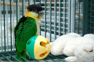 Baby Black Headed Caique at Golden Cockatoo