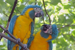 Julie-Larsen-Maher-1874-Blue-throated-Macaws-QZ-07-25-12.568