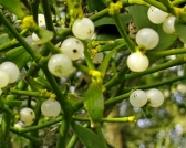 748px-Mistletoe_Berries_Uk